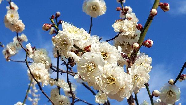 Plum, Flowers, Spring Flowers, Bright, April, Nature