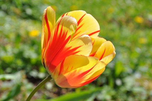 Blossom, Bloom, Flower, Tulip, Orange, Red
