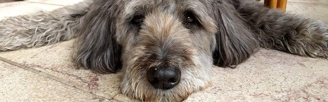 Dog, Tired, Dog Tired, Fluffy, Pet, Concerns, Snout