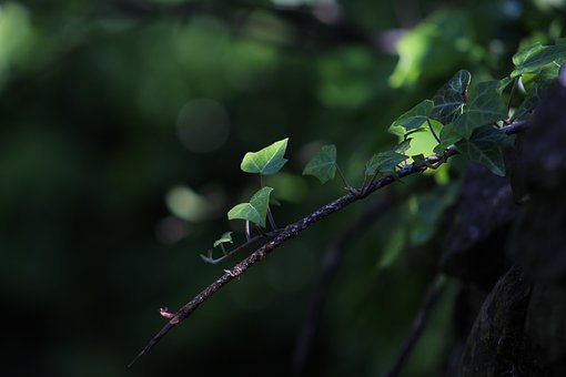 Nature, Green, Ivy, Leaves, Plant, Plants, Creeper