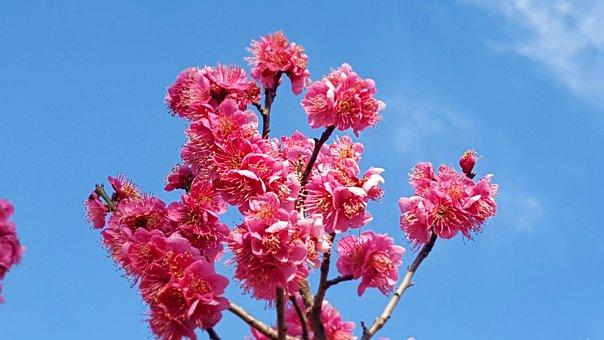 Red Plum, Flowers, Spring Battled, Plumblossom, Plum