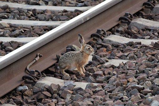 Young Wild Rabbit Near Rail, Railway, Track