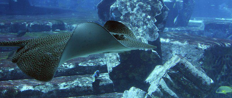 Stingray, Rays, Underwater, Underwater World