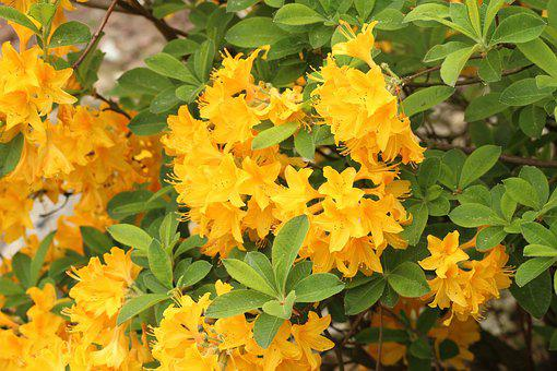 Azalea, Rhododendron, Ornamental Shrub, Yellow Flowers