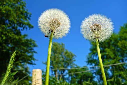 Dandelion, Plant, Seed Head, Puff-ball, Fluffy, Soft