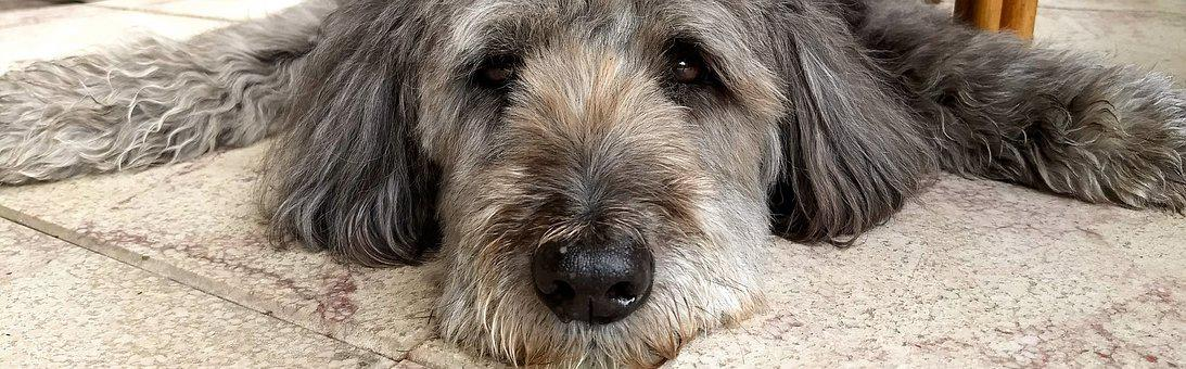 Dog, Tired, Dog Tired, Fluffy, Pet, Concerns, Snout