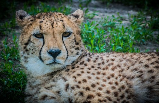 Cheetah, Cat, Predator, Speckles, It Is Observed, Looks