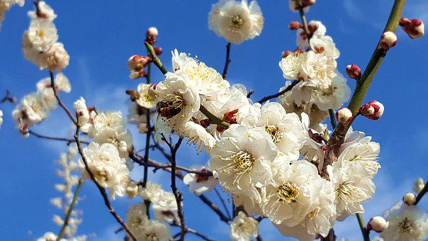 Plum, Flowers, Spring Flowers, Bright, Apricot Flower