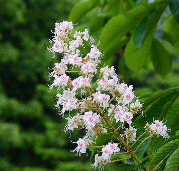 Horse Chestnut White, Nature, Flower Chestnut, Spring
