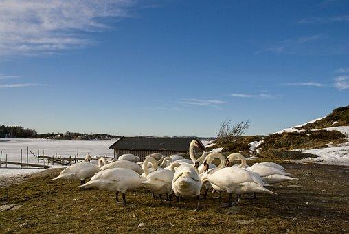 Swans, Kungälv, Water, Nature, Swan, Animals, Birds