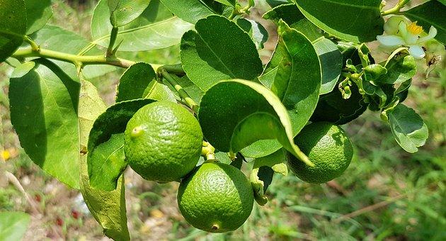 Kaffir Lime, Citrus, Lime, Hystrix, Fruit, Tropical