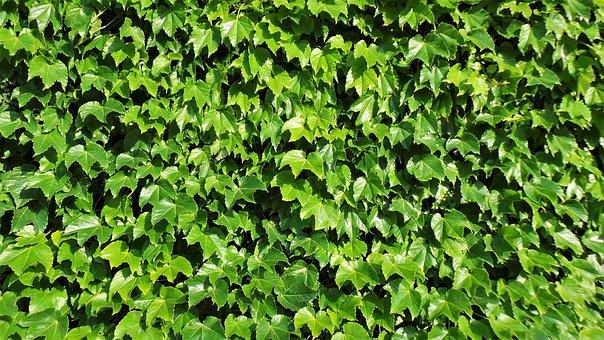 Ivy, Harmony, Vine