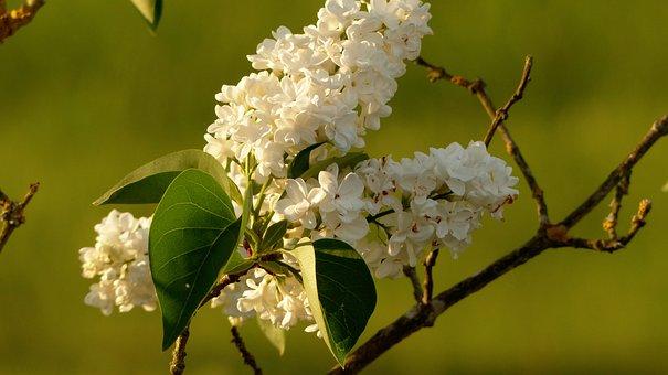 Lilac, White, White Lilac, Spring, Flowers, Plant