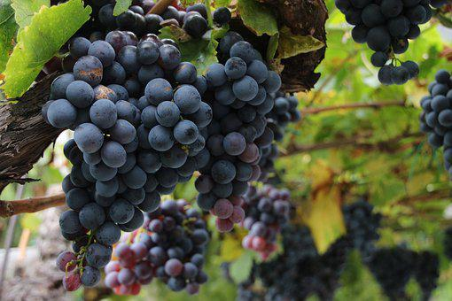 Wine, Grapes, Red Grapes, Winegrowing, Fruits, Fruit