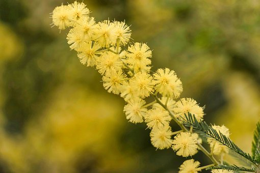 Mimosa, Flower, Yellow, Nature, Floral, Concept, Woman