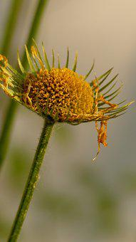 Gemsbart, Flower, Blossom, Bloom, Yellow, Nature, Plant