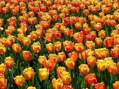 Tulip, Flower, Spring, Orange, Yellow, Lily, Garden
