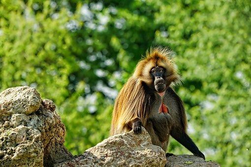 Mammal, Primate, Monkey, Zoo, Exotic