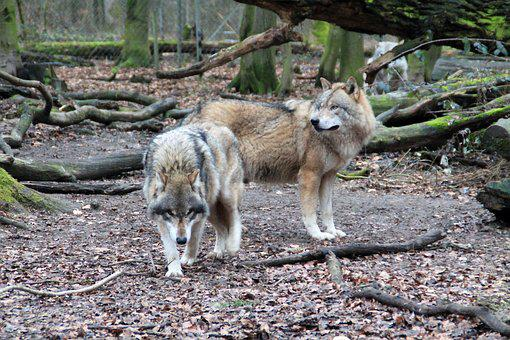 Wolf, Zoo, Weilburg, Enclosure, Nature, Wolves