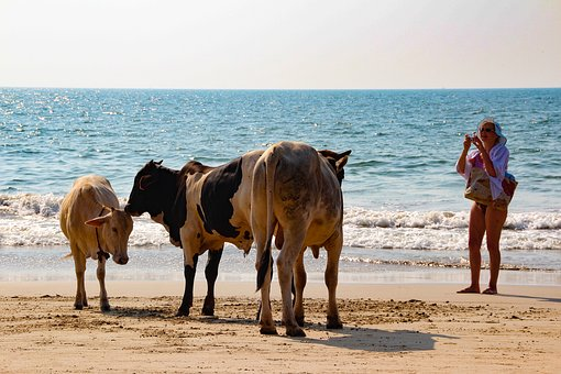 India, Cows, Beach, Sea