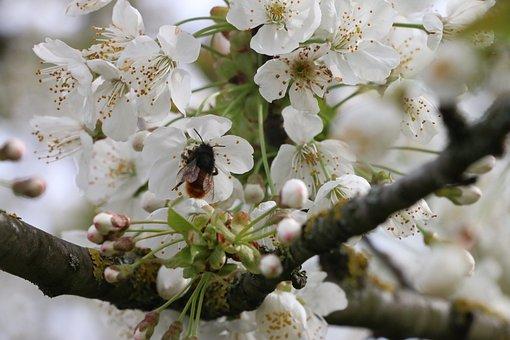 Nature, Cherry, Flowers, Bee, Api, White, Yellow