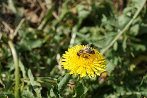 Bee, Dandelion, Pollination, Flower, Insect
