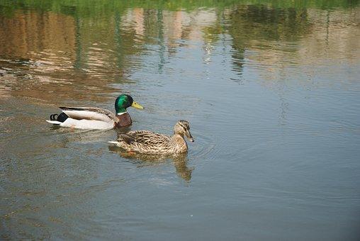 Duck, Ducks, Mallard Duck, Water, Bird, Nature, Birds