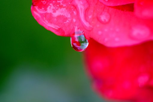 Drop Of Water, Blossom, Bloom, Macro, Drip, Red