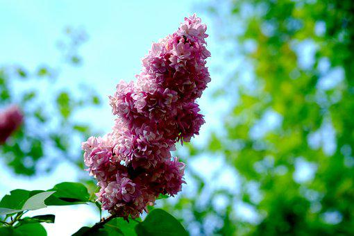 Lilac, Pink, Spring, Blossom, Bloom, Nature, Bloom