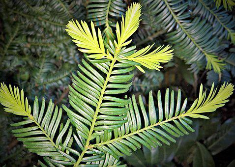 Yew, Conifer, Taxus, Periwinkle, Branch