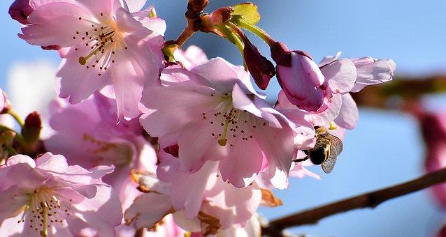 Bee, Cherry Blossom, Ornamental Cherry