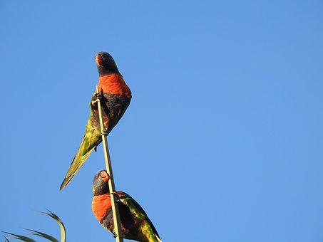 Colorful, Parrot, Lorikeets, Blue Skies, Wild, Feather