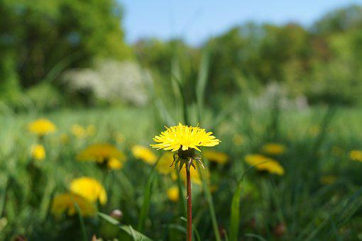 Dandelion, Meadow, Yellow Flower, Common Dandelion