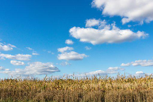 Cornfield, Farming, Field, Agriculture, Corn, Rural