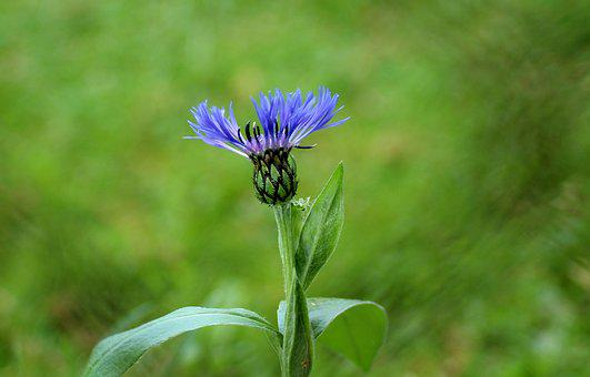 Cornflower, Flower Field, Blue, Blue Flowers
