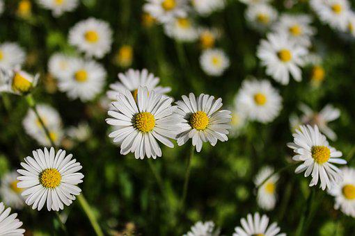 Daisy, Flower, Spring, Meadow, Plant, Grass, Nature