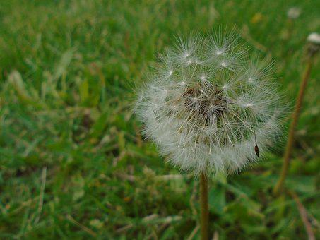 Dandelion, Grass, Nature, Spring, Green, Lawn