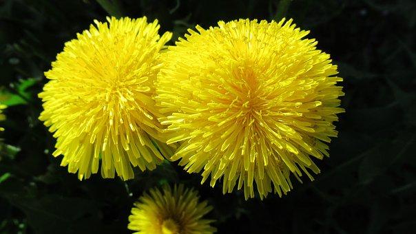 Flower, Dandelion, Yellow, Nature, Blossom