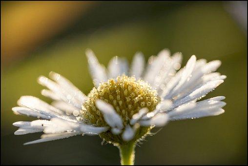 Flower, Dawn, Plant