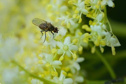 Insect, Fly, Elderflower, Elder