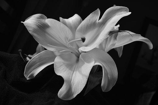 Flower, Lily, Oriental Lily, Oriental, Nature, White