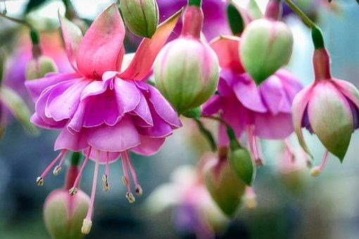 Fuchsia Wind Chime, Flower, Fuchsia, Nature, Flora