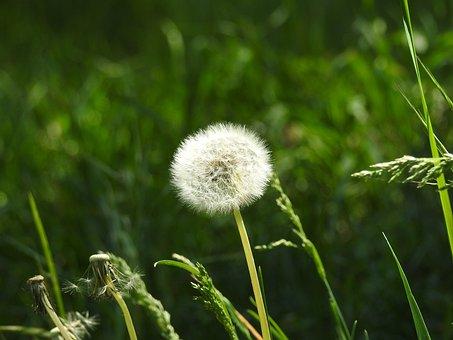 Dandelion, Spring, Nature, Plant, Fluffy Dandelion