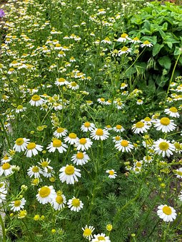 Chamomile, German Chamomile, Flowers, Flower Garden
