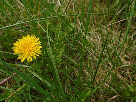 Dandelion, Grass, Outdoor, Nature, Lawn, Yellow, Green