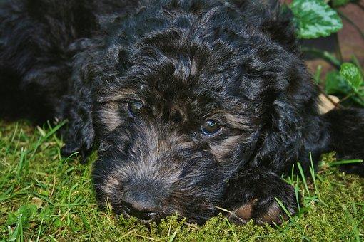 Dog, Golden Doodle, Puppy, Poodle, Hundeportrait, Pet