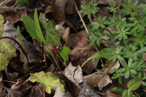 Nature, Leaves, Dried Leaves, Insect, Ladybug, Green