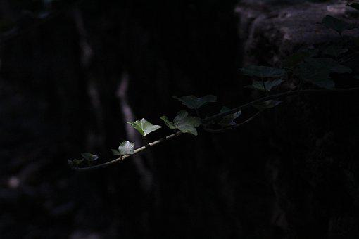 Ivy, Green, Forest, Light, Plant, Creeper, Nature