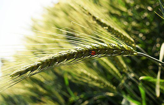 Bug, Wheat, Leaves, Nature, Insect, Plant, Macro