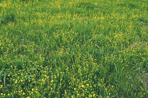 Flowers Of The Field, Yellow Flowers, Meadow Flowers